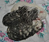 spotted,tabby and smoke british shorthair kittens