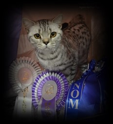 silver spotted british shorthair cat