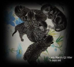 silver tabby spotted british shorthair kittens