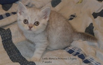 lilac silver spotted british shorthair kitten