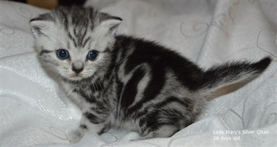 silver tabby british shorthair kitten