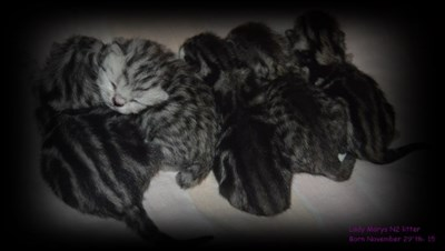 british shorthair litter