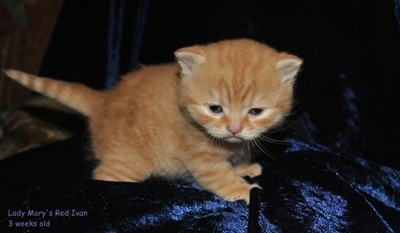 red british shorthair kitten