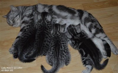 silver tabby spotted british shorthair litter