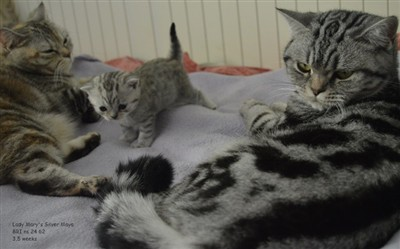tabby and spotted british shorthair cats.