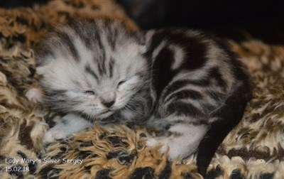 silver tabby british shorthair orange eyed kitten