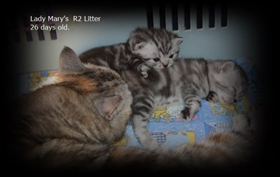 tabby british shorthair kittens