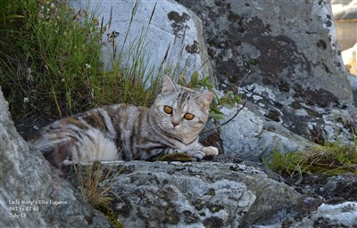 tortie silver tabby british shorthair cat