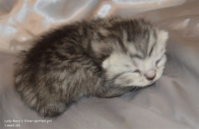 siler spotted kitten british shorthair