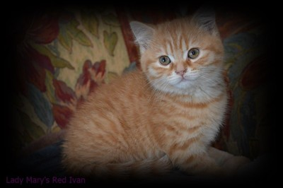 red spotted british shorthair kitten