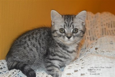 silver spotted british shorthair