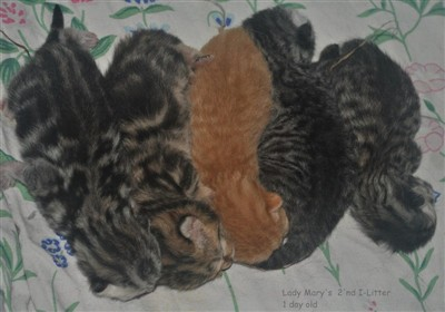 tabby and spotted british shorthair kittens