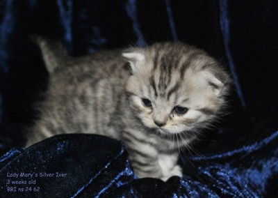 silver spotted british shorthair kitten