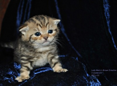 brown tabby british shorthair kitten