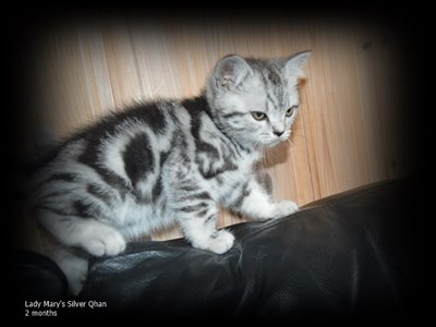 silver tabby british shorthair cat
