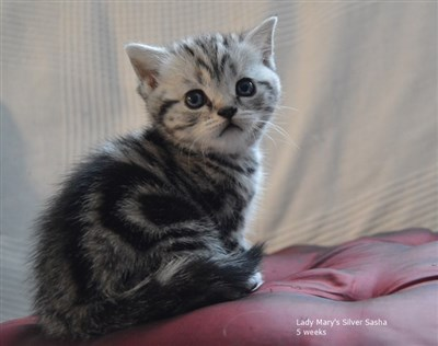 silver tabby orange eyed british shorthair kitten