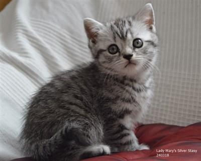 silver spotted orange eyed british shorthair cat