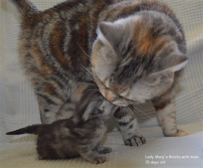 tortie silver tabby kitten and mum british shorthair cat
