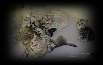 Lady Mary's british shorthair litter
